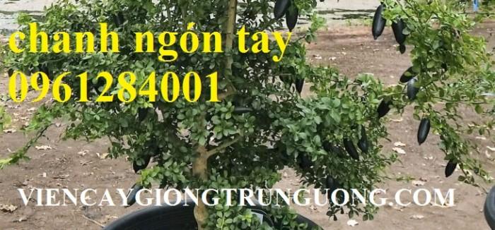 Mua cây giống chanh ngón tay ở đâu chuẩn giống, uy tín? chanh ngón tay nhập khẩu Thái Lan16