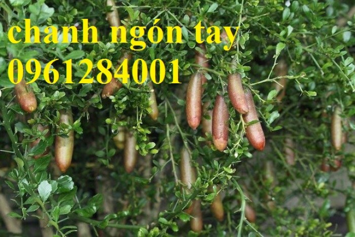 Mua cây giống chanh ngón tay ở đâu chuẩn giống, uy tín? chanh ngón tay nhập khẩu Thái Lan13