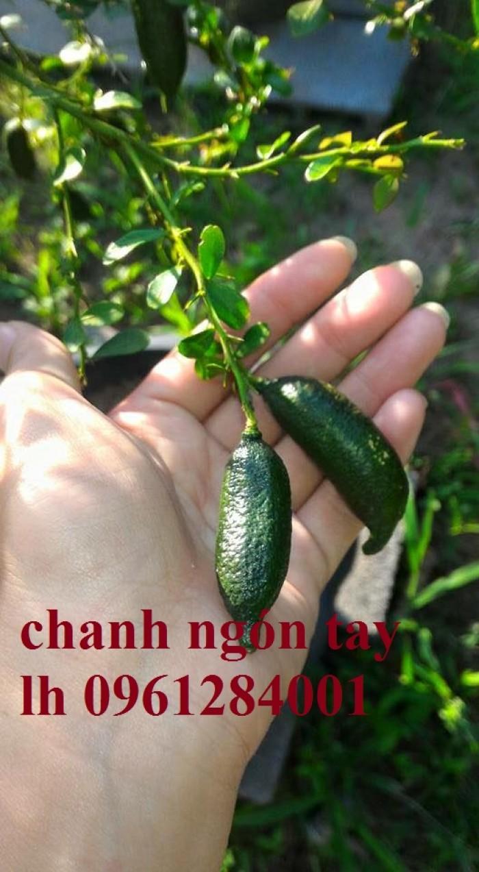 Mua cây giống chanh ngón tay ở đâu chuẩn giống, uy tín? chanh ngón tay nhập khẩu Thái Lan1