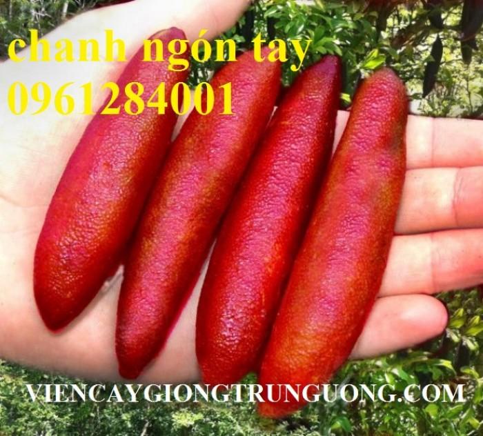 Mua cây giống chanh ngón tay ở đâu chuẩn giống, uy tín? chanh ngón tay nhập khẩu Thái Lan10