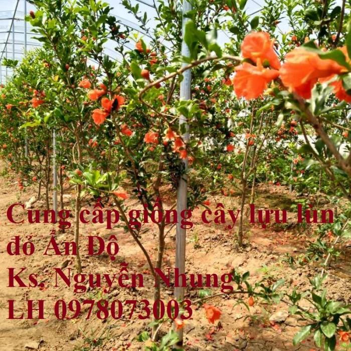 Trung tâm cung cấp cây giống lựu, cây lựu lùn ấn độ. Cây giống đảm bảo chất lượng, giao cây toàn quốc6