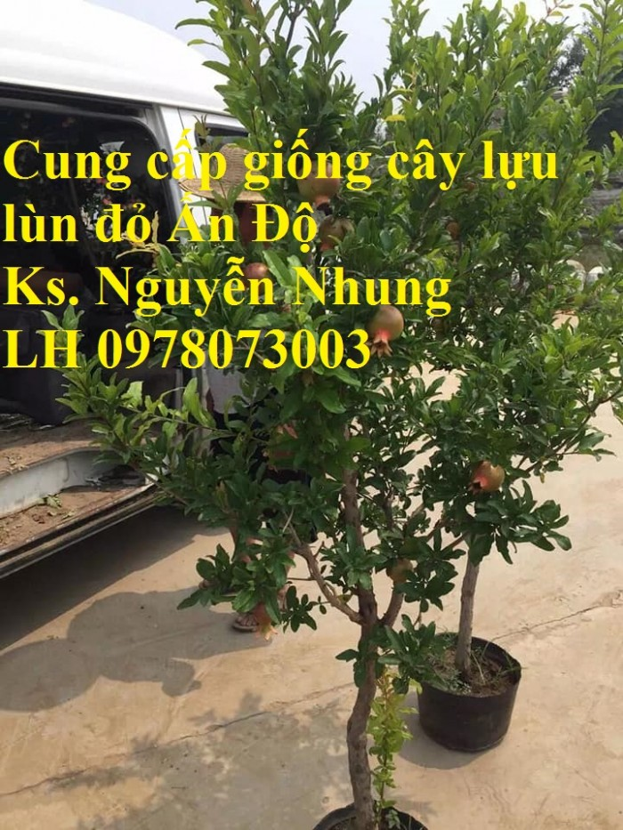 Trung tâm cung cấp cây giống lựu, cây lựu lùn ấn độ. Cây giống đảm bảo chất lượng, giao cây toàn quốc8