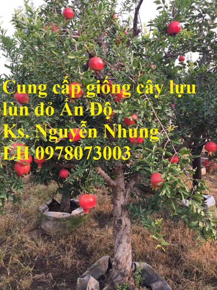 Trung tâm cung cấp cây giống lựu, cây lựu lùn ấn độ. Cây giống đảm bảo chất lượng, giao cây toàn quốc9