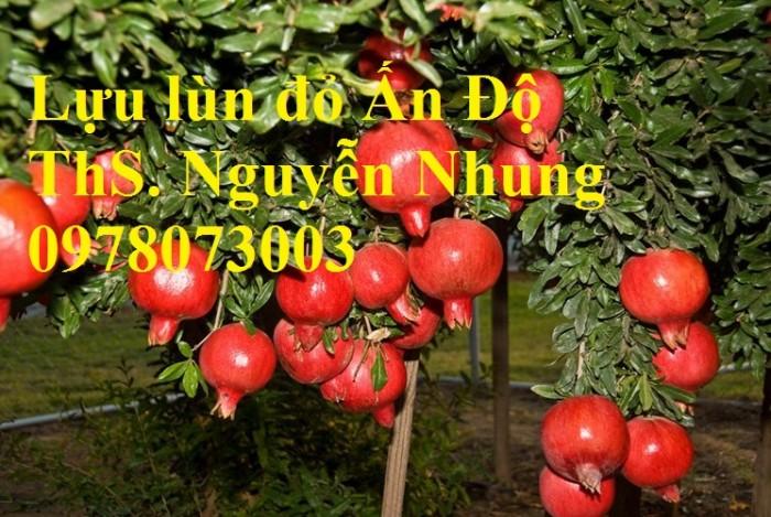 Trung tâm cung cấp cây giống lựu, cây lựu lùn ấn độ. Cây giống đảm bảo chất lượng, giao cây toàn quốc13