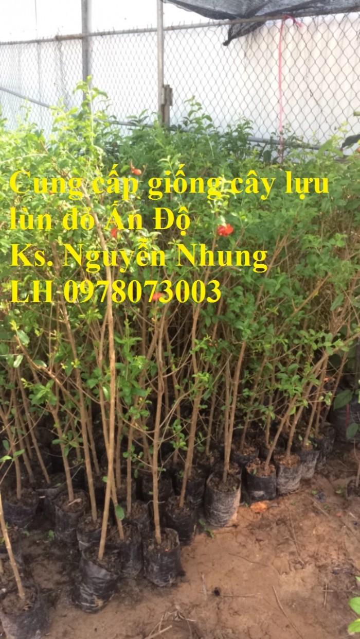 Trung tâm cung cấp cây giống lựu, cây lựu lùn ấn độ. Cây giống đảm bảo chất lượng, giao cây toàn quốc17