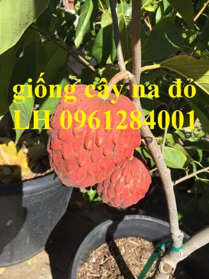 Địa chỉ uy tín cung cấp giống cây na đỏ Úc, mãng cầu đỏ úc, na đỏ8