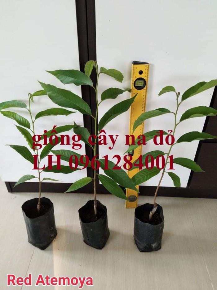 Địa chỉ uy tín cung cấp giống cây na đỏ Úc, mãng cầu đỏ úc, na đỏ1