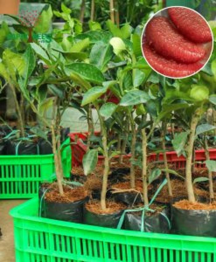 Bưởi ruby Thái Lan-Cung cấp giống BƯỞI RUBY THÁI LAN. Giống cây được nhập khẩu trực tiếp từ Thái Lan7