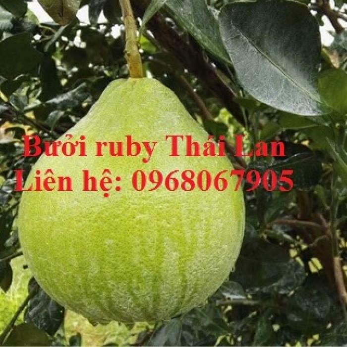 Bưởi ruby Thái Lan-Cung cấp giống BƯỞI RUBY THÁI LAN. Giống cây được nhập khẩu trực tiếp từ Thái Lan8
