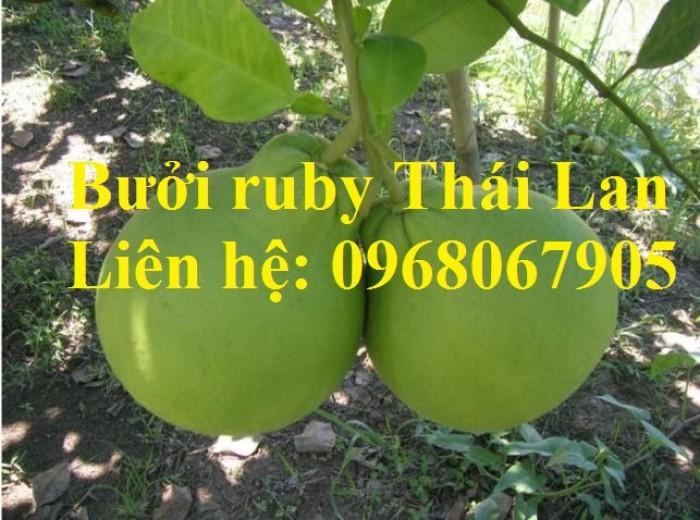 Bưởi ruby Thái Lan-Cung cấp giống BƯỞI RUBY THÁI LAN. Giống cây được nhập khẩu trực tiếp từ Thái Lan10