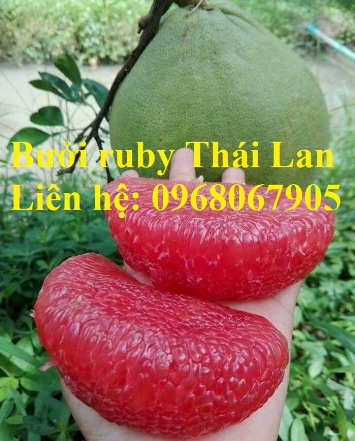 Bưởi ruby Thái Lan-Cung cấp giống BƯỞI RUBY THÁI LAN. Giống cây được nhập khẩu trực tiếp từ Thái Lan2