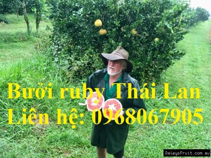 Bưởi ruby Thái Lan-Cung cấp giống BƯỞI RUBY THÁI LAN. Giống cây được nhập khẩu trực tiếp từ Thái Lan9