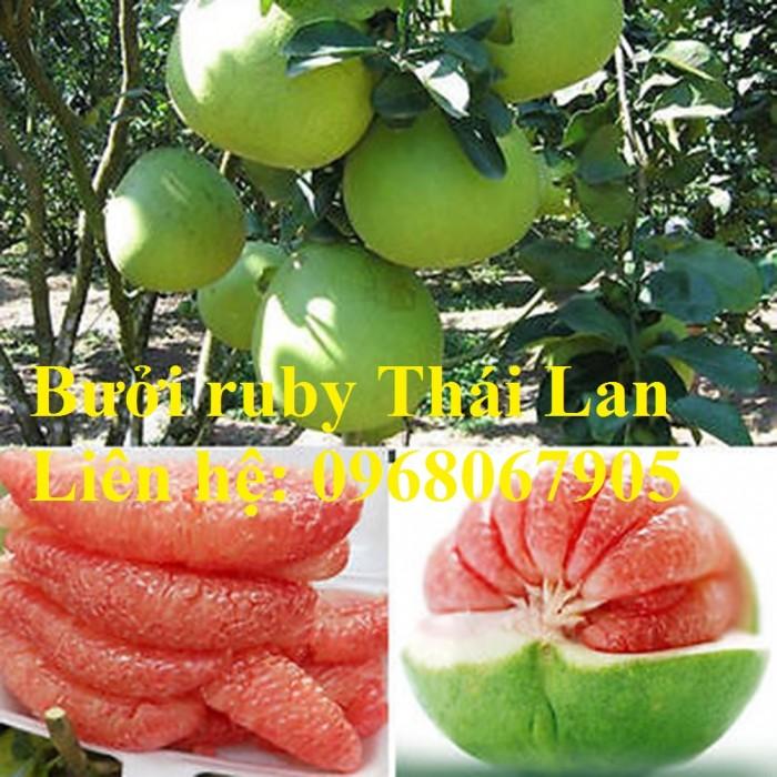 Bưởi ruby Thái Lan-Cung cấp giống BƯỞI RUBY THÁI LAN. Giống cây được nhập khẩu trực tiếp từ Thái Lan5