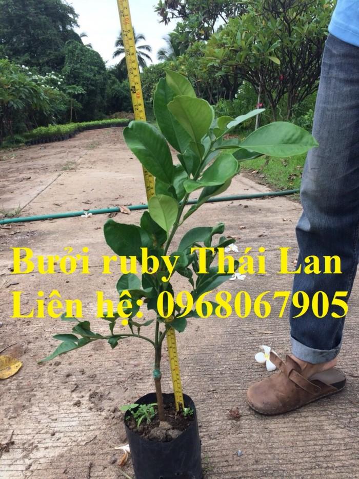 Bưởi ruby Thái Lan-Cung cấp giống BƯỞI RUBY THÁI LAN. Giống cây được nhập khẩu trực tiếp từ Thái Lan1