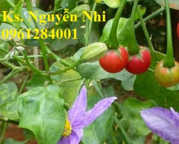 Chuyên cung cấp cây giống cà gai leo, hạt giống cà gai leo, số lượng lớn, giao hàng toàn quốc6