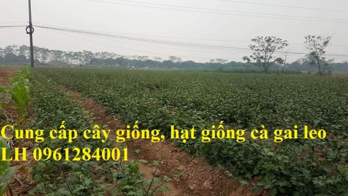 Chuyên cung cấp cây giống cà gai leo, hạt giống cà gai leo, số lượng lớn, giao hàng toàn quốc12