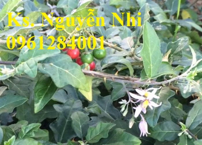 Chuyên cung cấp cây giống cà gai leo, hạt giống cà gai leo, số lượng lớn, giao hàng toàn quốc10