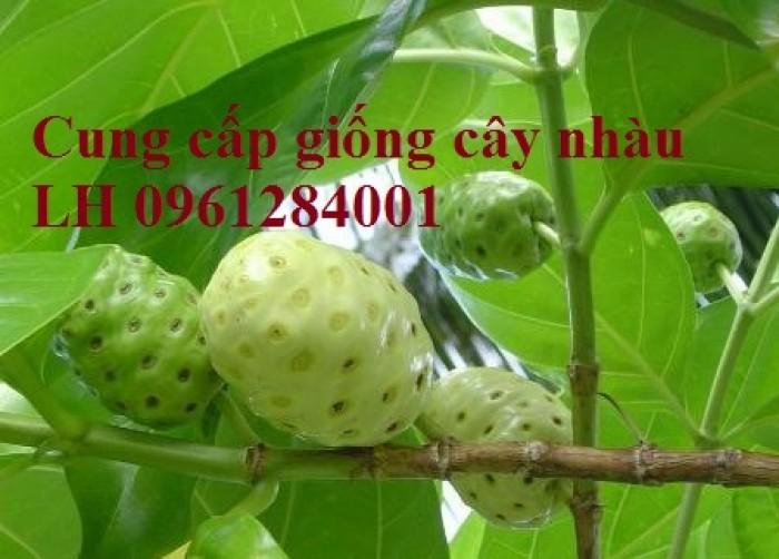 Cung cấp giống cây nhàu, cây nhàu, kỹ thuật trồng cây nhàu - viencaygiongtrunguong11