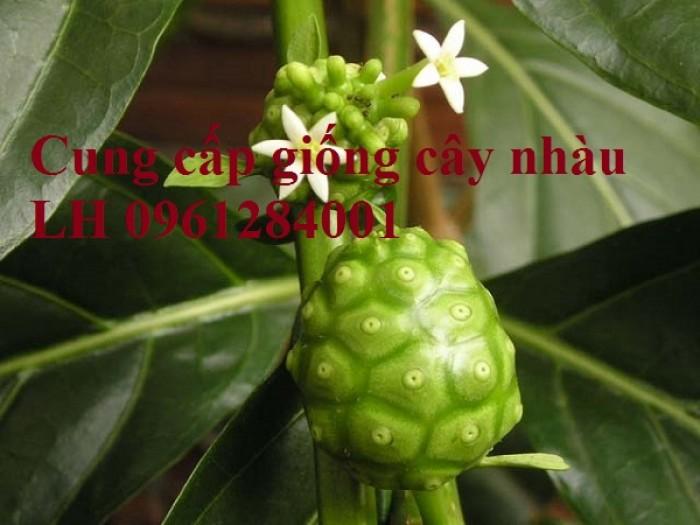 Cung cấp giống cây nhàu, cây nhàu, kỹ thuật trồng cây nhàu - viencaygiongtrunguong12