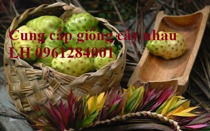 Cung cấp giống cây nhàu, cây nhàu, kỹ thuật trồng cây nhàu - viencaygiongtrunguong13