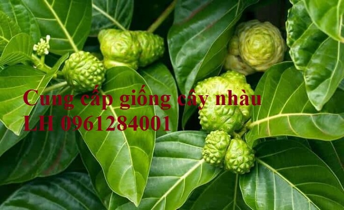 Cung cấp giống cây nhàu, cây nhàu, kỹ thuật trồng cây nhàu - viencaygiongtrunguong14