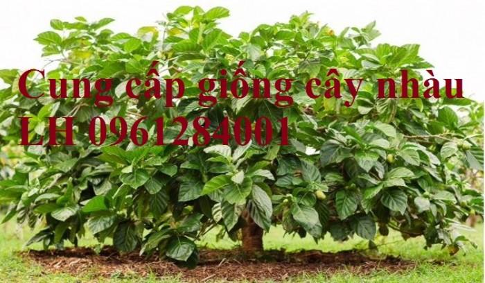 Cung cấp giống cây nhàu, cây nhàu, kỹ thuật trồng cây nhàu - viencaygiongtrunguong10