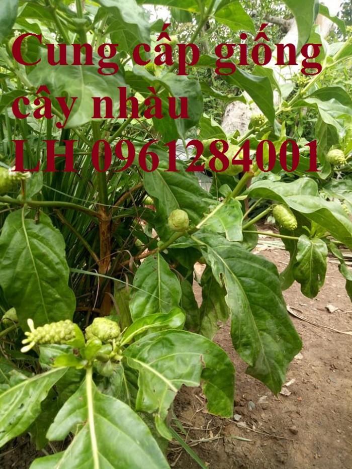 Cung cấp giống cây nhàu, cây nhàu, kỹ thuật trồng cây nhàu - viencaygiongtrunguong4
