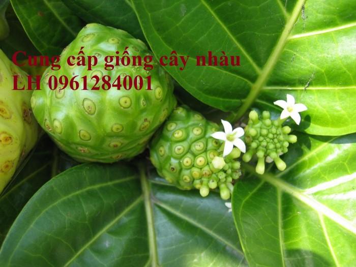 Cung cấp giống cây nhàu, cây nhàu, kỹ thuật trồng cây nhàu - viencaygiongtrunguong6
