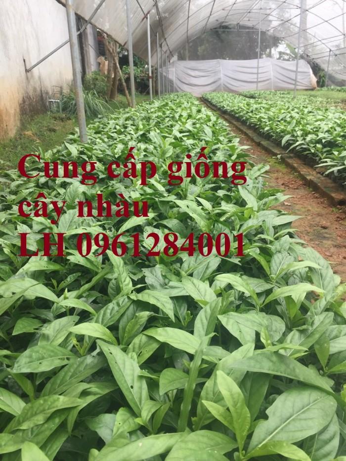Cung cấp giống cây nhàu, cây nhàu, kỹ thuật trồng cây nhàu - viencaygiongtrunguong1