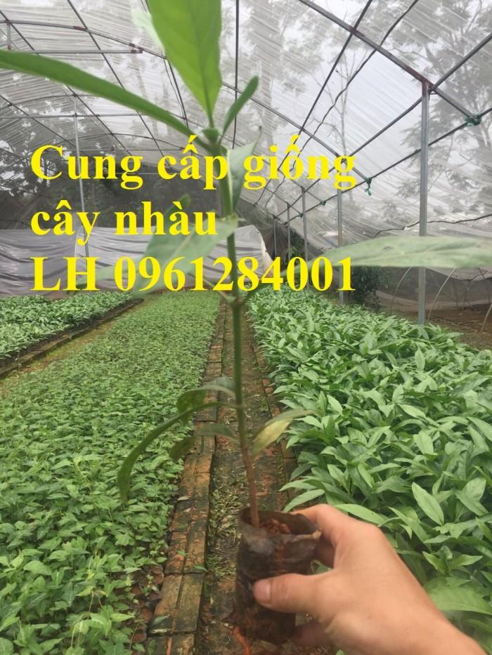 Cung cấp giống cây nhàu, cây nhàu, kỹ thuật trồng cây nhàu - viencaygiongtrunguong2