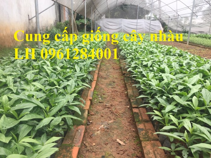 Cung cấp giống cây nhàu, cây nhàu, kỹ thuật trồng cây nhàu - viencaygiongtrunguong8