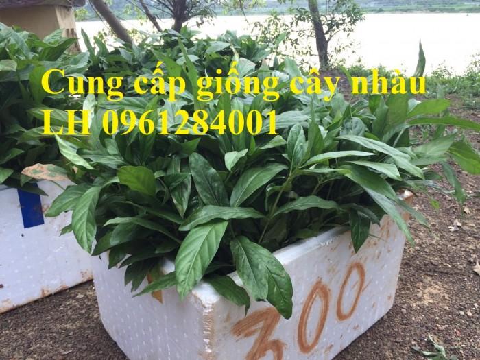 Cung cấp giống cây nhàu, cây nhàu, kỹ thuật trồng cây nhàu - viencaygiongtrunguong7