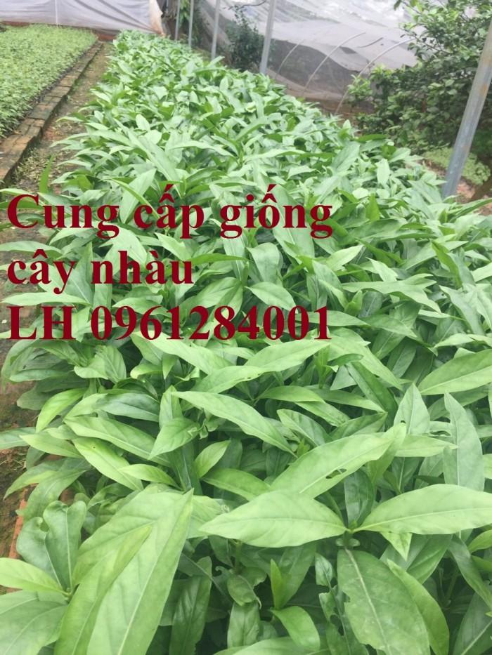Cung cấp giống cây nhàu, cây nhàu, kỹ thuật trồng cây nhàu - viencaygiongtrunguong0