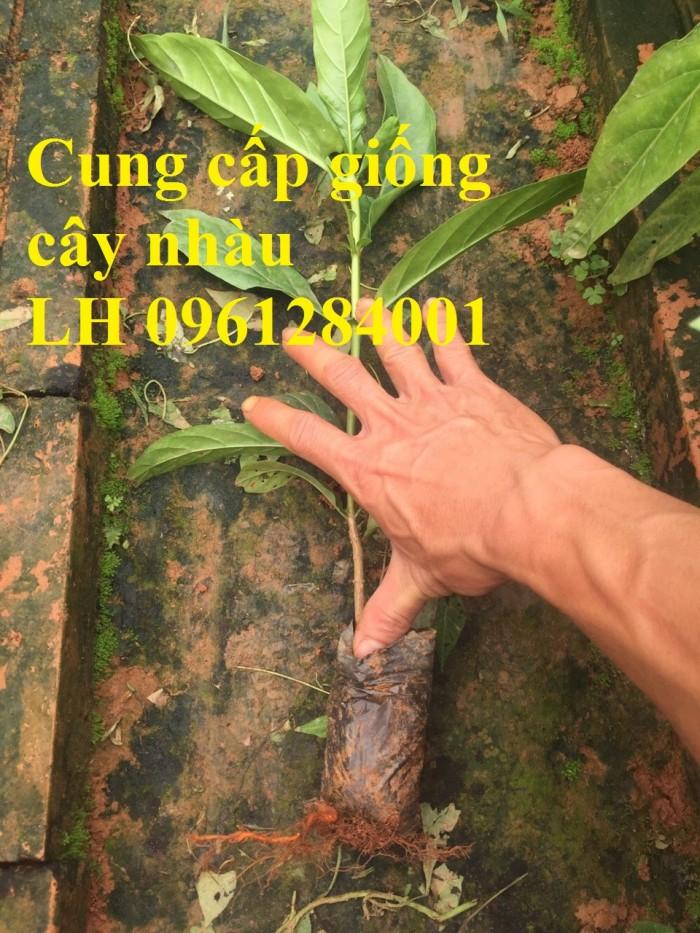 Cung cấp giống cây nhàu, cây nhàu, kỹ thuật trồng cây nhàu - viencaygiongtrunguong3