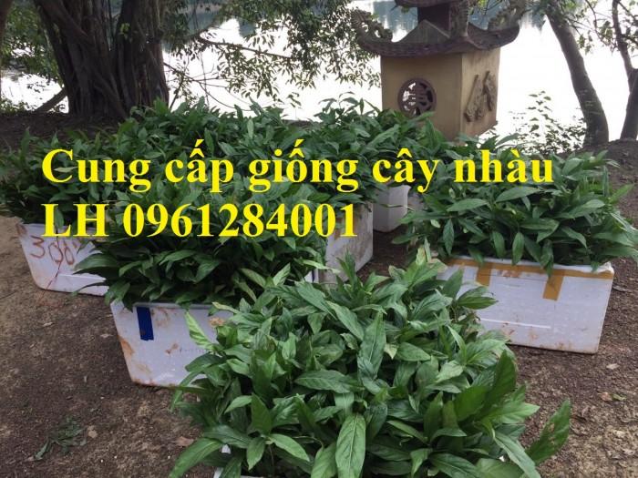 Cung cấp giống cây nhàu, cây nhàu, kỹ thuật trồng cây nhàu - viencaygiongtrunguong5
