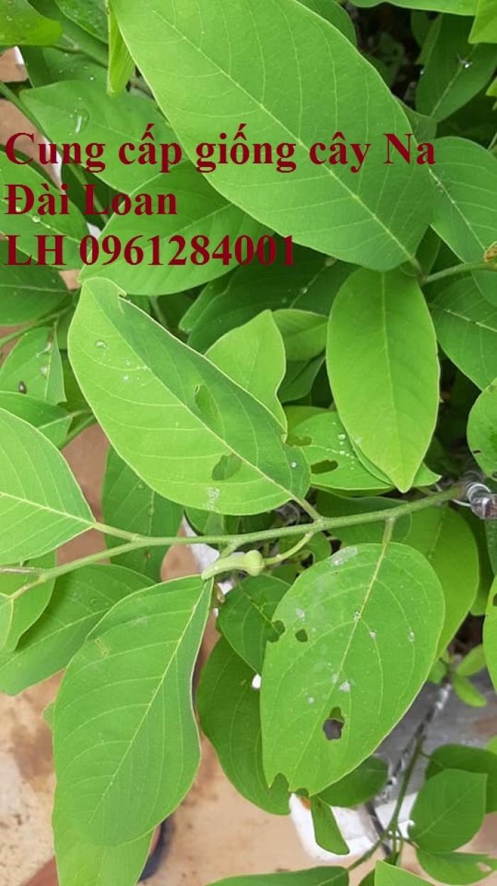 Trồng cây na đài loan, na dai đài loan, na bở đài loan, na dứa, cây giống nhập khẩu đầu nguồn, cam kết chất lượng1