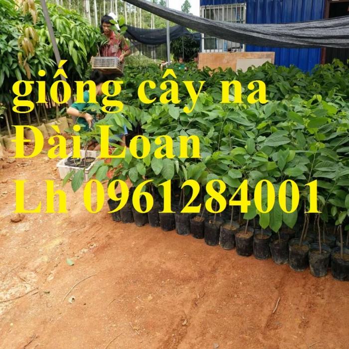 Trồng cây na đài loan, na dai đài loan, na bở đài loan, na dứa, cây giống nhập khẩu đầu nguồn, cam kết chất lượng8