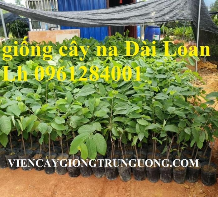Trồng cây na đài loan, na dai đài loan, na bở đài loan, na dứa, cây giống nhập khẩu đầu nguồn, cam kết chất lượng9