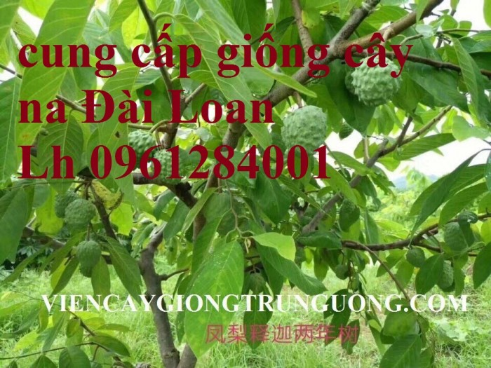 Trồng cây na đài loan, na dai đài loan, na bở đài loan, na dứa, cây giống nhập khẩu đầu nguồn, cam kết chất lượng11