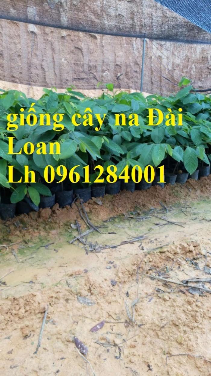 Trồng cây na đài loan, na dai đài loan, na bở đài loan, na dứa, cây giống nhập khẩu đầu nguồn, cam kết chất lượng5