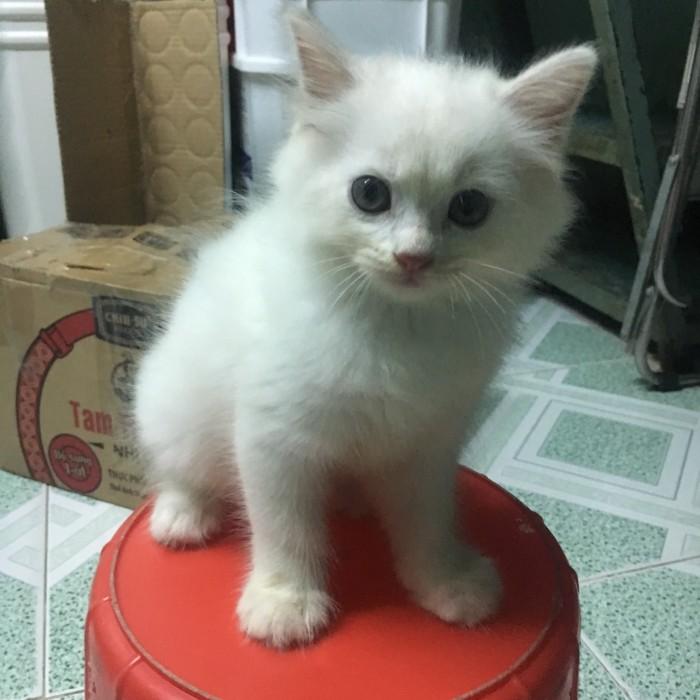Tìm chủ mới cho 3 Bé Mèo Anh LD mắt 2 màu Xanh và Nâu5