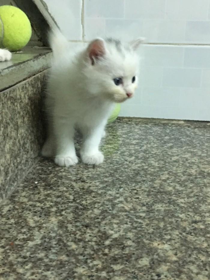 Tìm chủ mới cho 3 Bé Mèo Anh LD mắt 2 màu Xanh và Nâu1