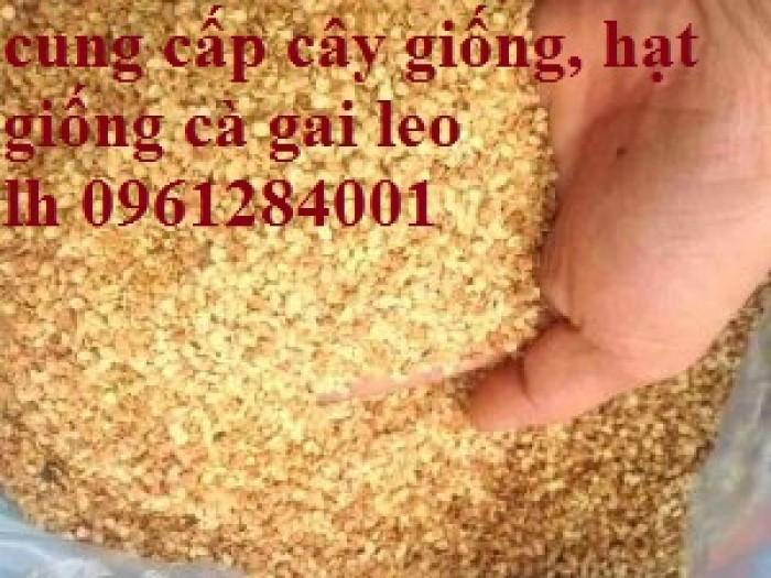 Chuyên cung cấp giống cây cà gai leo, hạt giống cà gai leo, số lượng lớn, giao hàng toàn quốc6