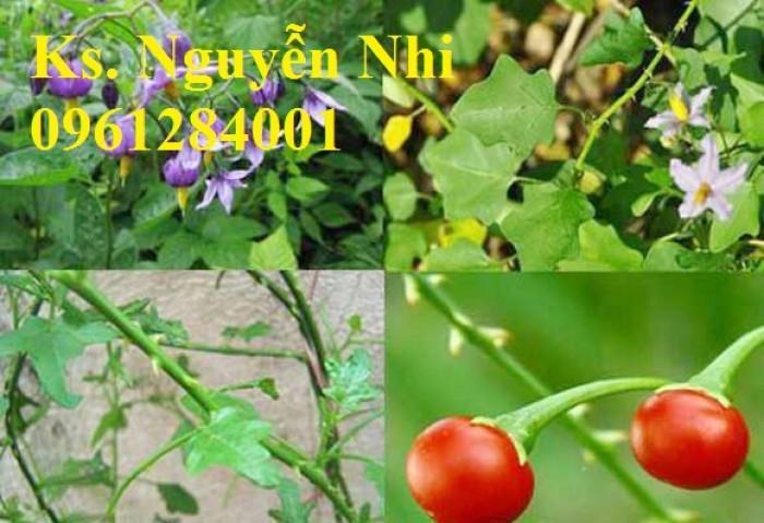 Chuyên cung cấp giống cây cà gai leo, hạt giống cà gai leo, số lượng lớn, giao hàng toàn quốc9