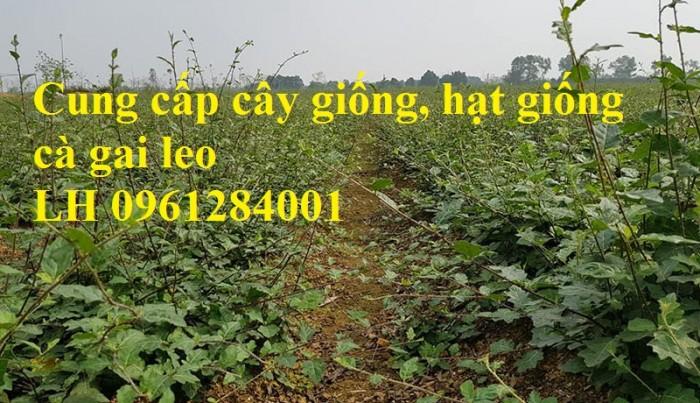 Chuyên cung cấp giống cây cà gai leo, hạt giống cà gai leo, số lượng lớn, giao hàng toàn quốc8