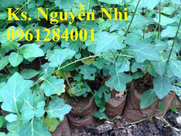 Chuyên cung cấp giống cây cà gai leo, hạt giống cà gai leo, số lượng lớn, giao hàng toàn quốc5