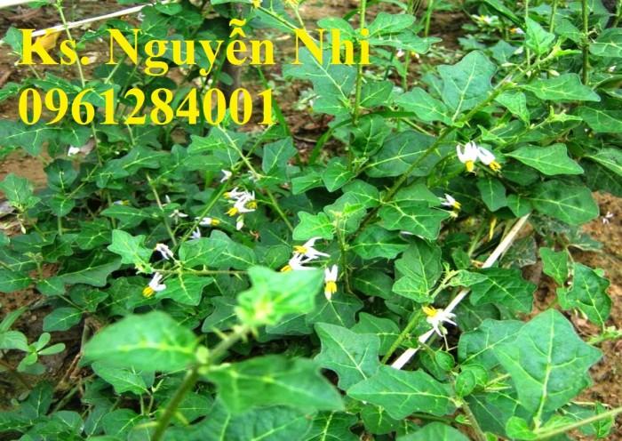 Chuyên cung cấp giống cây cà gai leo, hạt giống cà gai leo, số lượng lớn, giao hàng toàn quốc1
