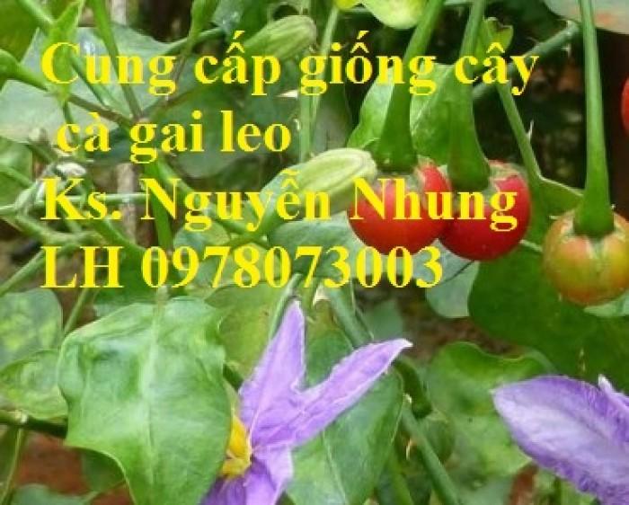 Giống cây cà gai leo, hạt giống cà gai leo, hàng loại 1, cam kết chất lượng, giao hàng toàn quốc11