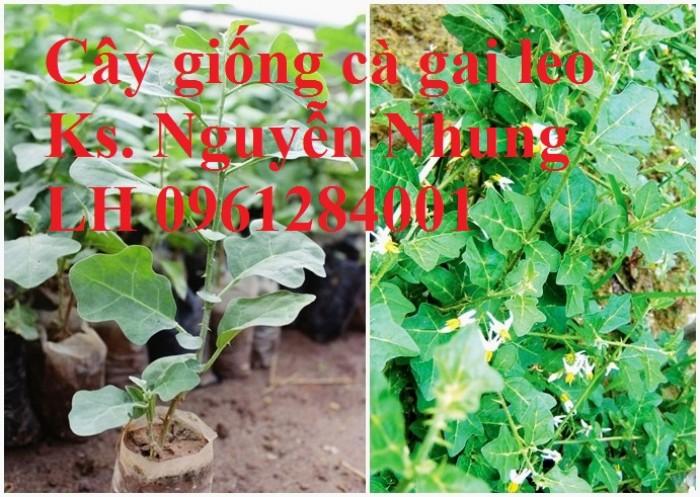 Giống cây cà gai leo, hạt giống cà gai leo, hàng loại 1, cam kết chất lượng, giao hàng toàn quốc9