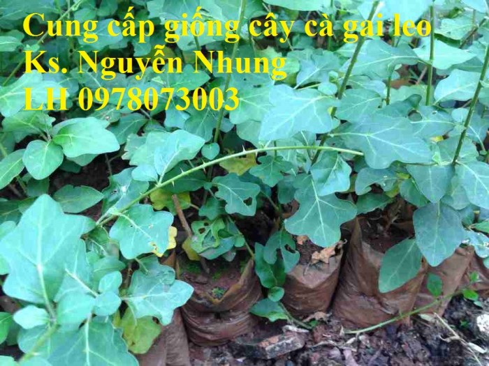 Giống cây cà gai leo, hạt giống cà gai leo, hàng loại 1, cam kết chất lượng, giao hàng toàn quốc2